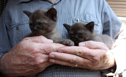 Burmese Kittens For Sale New York Westchester