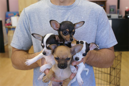 Chihuahua Puppies Westchester