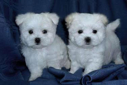 Maltese Puppies Westchester
