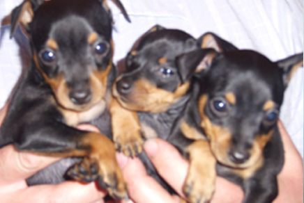 Miniature Pinscher Puppies Westchester