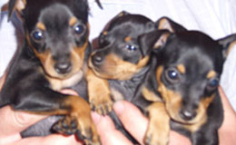 Miniature Pinscher Puppies For Sale New York Westchester