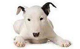 Bull Terrier Puppies For Sale New York Westchester