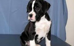 Boxer Puppies For Sale New York Westchester