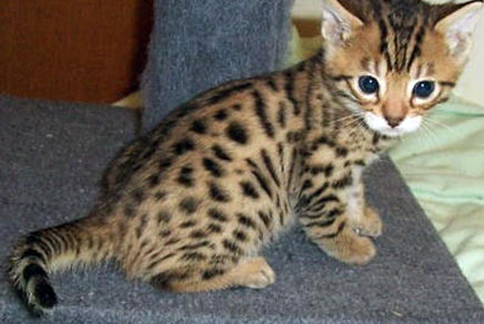 Bengal Kittens For Sale Westchester