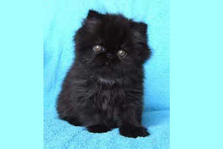 Persian Kittens For Sale Westchester
