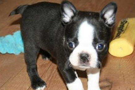 Boston Terrier Puppies For Sale Westchester