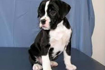 Boxer Puppies For Sale Westchester