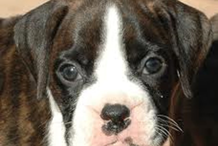 Boxer Puppies Westchester