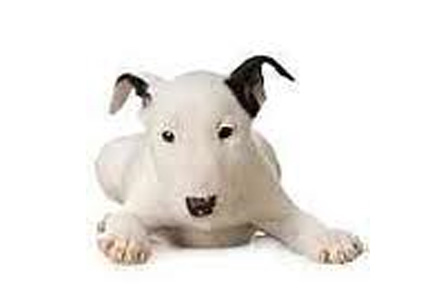 Bull Terrier Puppies For Sale Westchester