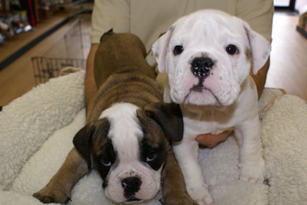 Englsih Bulldog Puppies For Sale Westchester