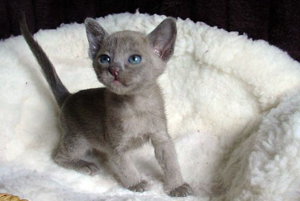 Burmese Short Hair Kittens for Sale in Westchester, New York
