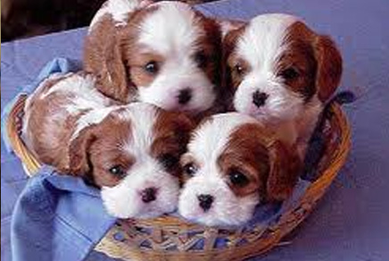 Westchester Puppies Cavalier King Charles Spaniel Puppies