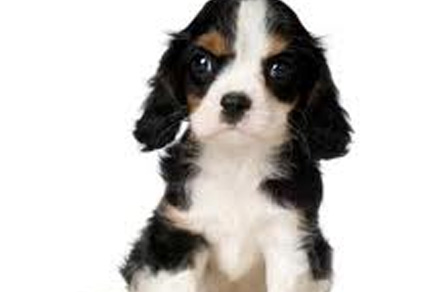 Cavalier Puppies For Sale Westchester