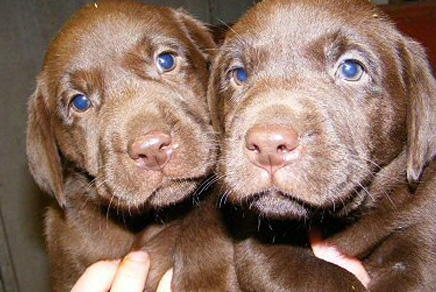 Labrador Retriever Puppies For Sale Westchester