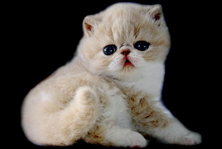 Exotic Shorthair Kittens For Sale Westchester