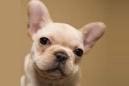 French Bulldog Puppy Westchester