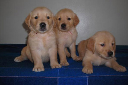 Golden Retriever Puppies For Sale Westchester