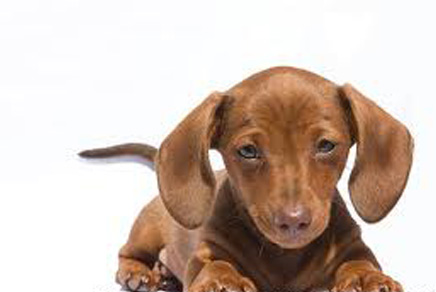 Miniature Dachshund Puppies on Miniature Dachshund Puppies For Sale In Westchester New York