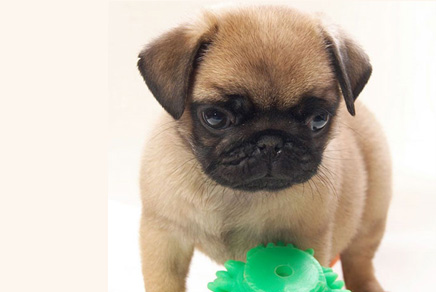 Westchester Puppies | Pug Puppies New York