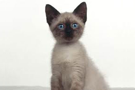 Siamese Kittens For Sale New York NY