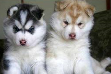 Siberian Husky Puppies For Sale Westchester