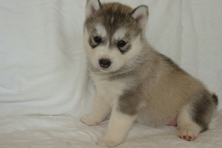 Siberian Husky Puppies For Sale In Westchester New York