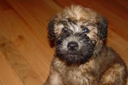 Wheaten Terrier Puppies For Sale Westchester