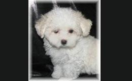 Designer Puppies For Sale Westchester