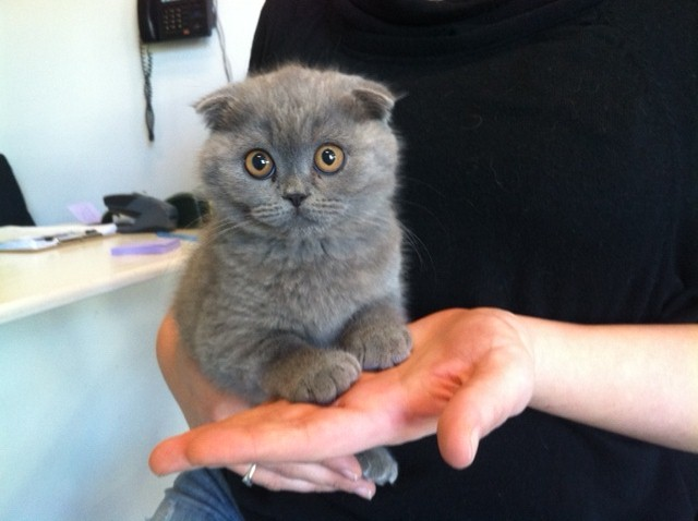 Scottish Fold Kittens For Sale New York NY