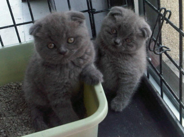 Scottish Fold Short Hair Kittens For Sale In Westchester Ny