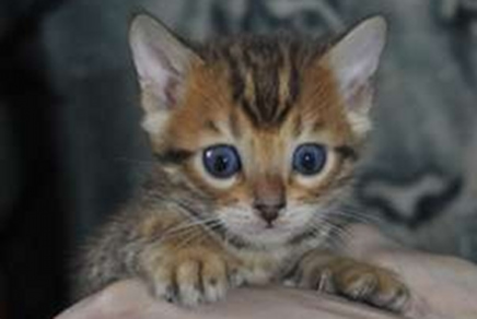 Bengal kitten breeders in ct