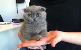 Scottish Fold Kittens For Sale New York Westchester