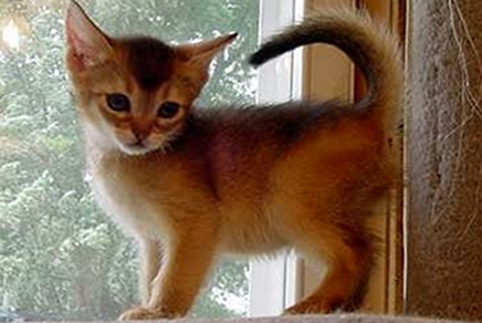 Abyssinian Short Hair Kittens for Sale in Weschester, NY