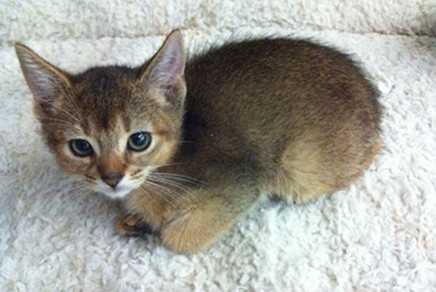 Abyssinian Cat Nyc