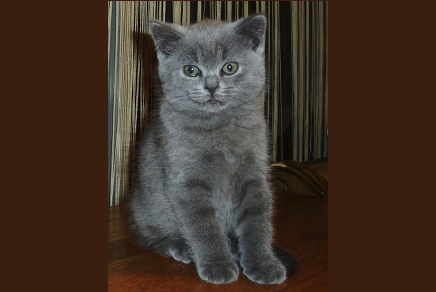 Persian kittens for sale in nj